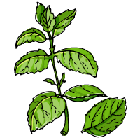 Mint sketch