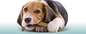 Photo of a beagle lying down and eating a dental chew